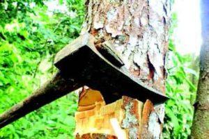 Kashmir University initiates process to axe Russian poplars