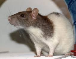 Rats nibble patient in Rajouri district hospital