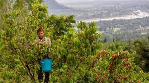 Cherry harvesting begins in full swing as COVID restrictions relaxed in Kashmir