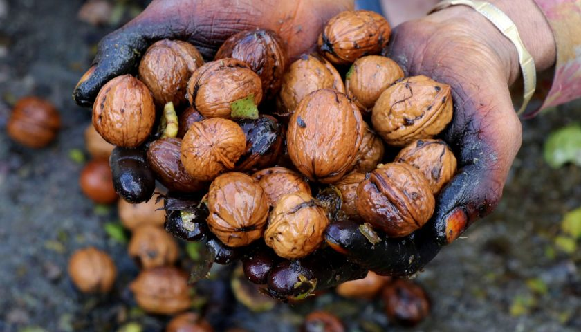 Kashmir's famed walnut industry is on the Decline