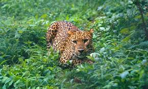 Wildlife Dept issues do's and don't as man-eater leopard remains at large