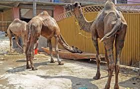 Slaughtering of Cows, Camels banned in J&K on Bakra Eid